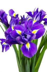 fiori viola fiori viola scuri dell iride immagine stock immagine di gambo