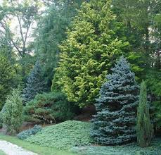 taking care of ornamental evergreen trees