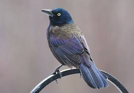 Nj Backyard Birds by Common Grackle Identification All About Birds Cornell Lab Of