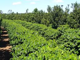matchmaking for coffee intercropping coffee plants macadamia trees