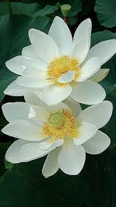 White Flowers Pictures - best 25 white lotus tattoo ideas on pinterest tattoos that