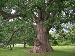 White Oak Leaf Types Of Oak Trees With Pictures Of Trunk Bark White Oak Oak