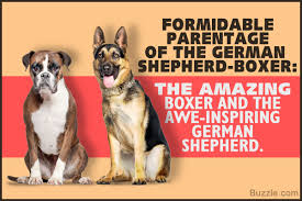 boxer dog origin incredible information about the german shepherd boxer mix breed