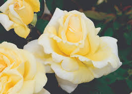 The Most Fragrant Plants - stop and smell the u2026 our list of the most fragrant roses star
