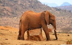 apple wallpaper elephant grounded elephant 4k hd desktop wallpaper for 4k ultra hd tv