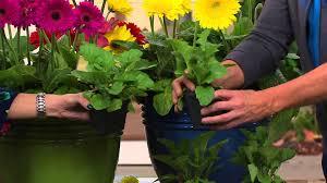 roberta u0027s 4 pc sweet series garvinea hardy gerber daisies with