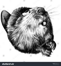 beaver round black white sketch on stock vector 548581513