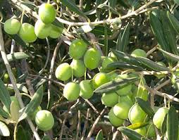 Indian Food Olives From Spain Olive Olive Cultivation Olive Extraction Olives Green