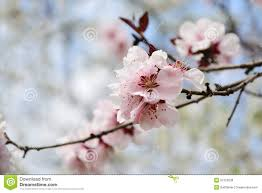 pink cherry blossom on tree branch stock photo image of