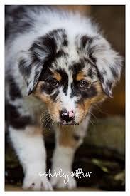 w lazy j australian shepherds best 25 australian shepherd puppies ideas on pinterest blue