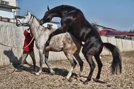mustangs mating mating up pictures of horses