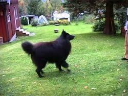 belgian sheepdog what s good about em belgian sheepdogs temperament u0026 personality