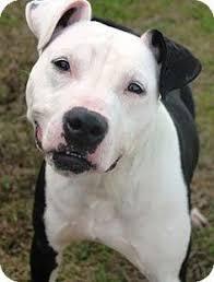 american pitbull terrier puppies louisiana quakertown pa pit bull terrier mix meet karli a dog for