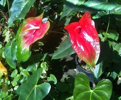 flowers direct oshiro and kalapana anthurium flowers order tropical flowers