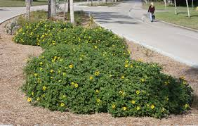 south florida native plants creeping and clumping ground covers for south florida gardens and