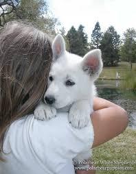 belgian sheepdog breeders pa white german shepherd dogs u0026 puppies polarbear