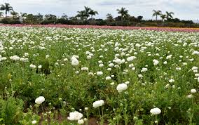 carlsbad flower garden san diego u0027s carlsbad flower fields ootd biancakarina