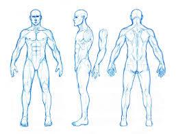 male anatomy orthographics by dathron on deviantart
