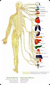 Anatomy And Physiology Nervous System Study Guide Central Nervous System Diagram For Kids Artes Pinterest