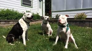 american pitbull terrier size chart 7 pit bull facts every dog lover should know rover com