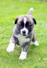 boxer boxer husky mix boxsky puppies boxer mix puppies