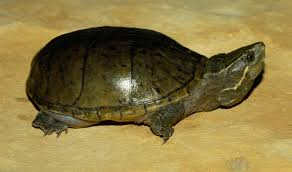 Texas Map Turtle The Common Musk Turtle Is Also Known As The