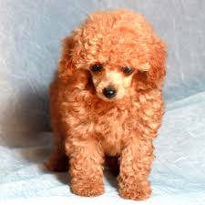 pictures of poodle haircuts teddy bear cut grooming styles for poodles scarlet s fancy poodles