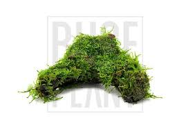 christmas moss on driftwood u2013 buce plant