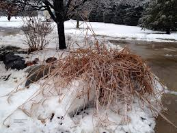 my poor zebra grass much snow and maybe much fertilizer