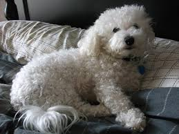 bichon frise 4 months old i am getting a dog off topic giant bomb