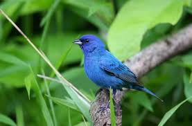 How To Attract Indigo Buntings To Your Backyard Six Of Kansas U0027 Most Stunning Birds And Where To See Them The