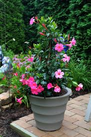 7 best mandevilla garden pots climbing hanging baskets images on