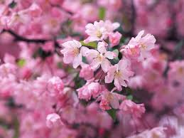 cherry flowers wallpapers cherry blossom viewing in april wallcoo net