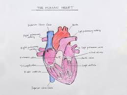 how to draw the internal structure of the heart with pictures