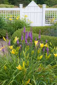 hemerocallis daylilies garden use plant u0026 flower stock