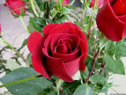 roses flowers here are much of flower gifts you can order here free delivery and