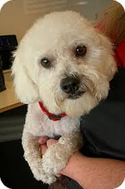 bichon frise dogs for adoption roseville ca bichon frise shih tzu mix meet marcelle a dog for