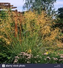 rhs wisley surrey stipa gigantea in small garden stock photo
