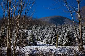 maggie valley area christmas tree farms maggie valley nc life