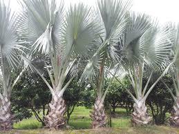 bismarck palm tree wholesale field grown palm trees bismarckpalms