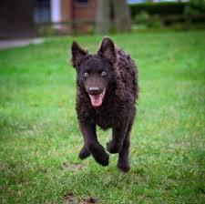 belgian sheepdog litters r litter köves bérci betyár mudi kennel