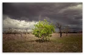a single green tree surrounded by dead trees 4k hd desktop