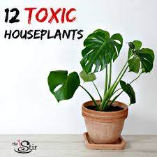 12 poisonous houseplants to avoid if you have kids photos cafemom