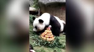 oldest panda dies china u0027s famous panda basi died aged 37 nature