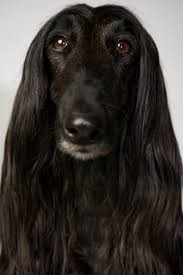 afghan hound dogs 101 top dogs portraits from westminster afghan hound afghans and