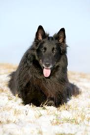belgian sheepdog laekenois belgian sheepdog dog breed information pictures characteristics