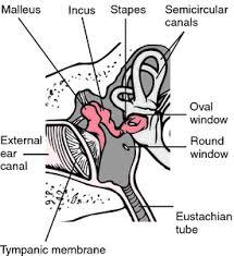 Outside Ear Anatomy Ear Definition Of Ear By Medical Dictionary