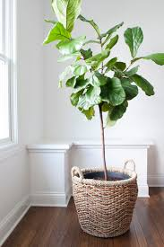 best 25 plant basket ideas on pinterest fiddle leaf fig tree
