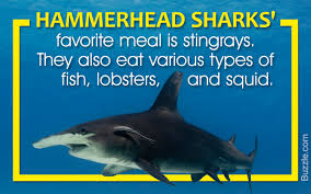 they u0027re nothing like their name awesome facts about zebra sharks