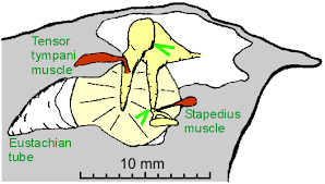 The Human Ear Anatomy Structure And Function Of The Middle Ear
